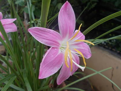 Photograph - Pink Lily 2 by Archana Saxena