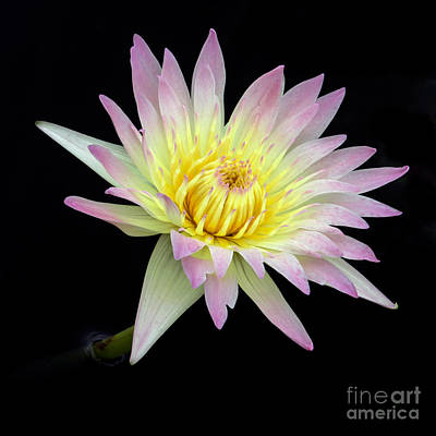 Pink N Yellow Water Lily Too Print by Sabrina L Ryan