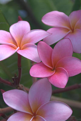 Of Trees Photograph - Pink Plumeria by Brian Harig