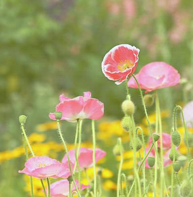 Pink Poppies Print by Kim Hojnacki