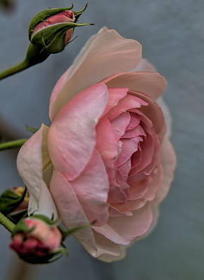 Pink Rose Print by Leif Sohlman