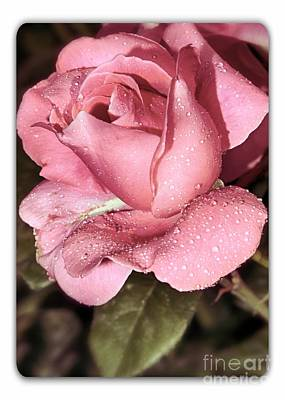 Nature Photograph - Pink Rose by Stefano Senise