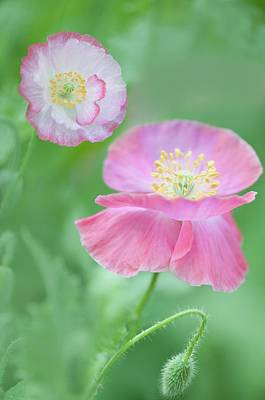 Pink Shirley Poppies Print by Maria Mosolova