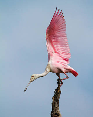 Pink Spoonbill Ready For Takeoff Print by Bill Swindaman