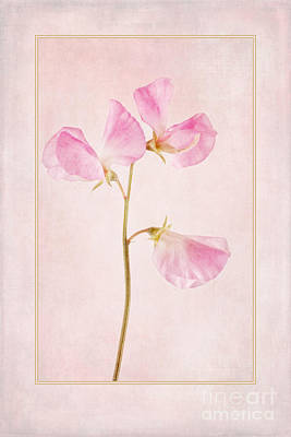 Ornamental Digital Art - Pink Sweet Pea by John Edwards