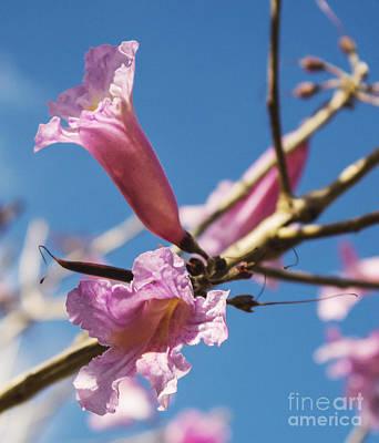 Pink Tabibouia Blossoms Print by Stuart Wilson