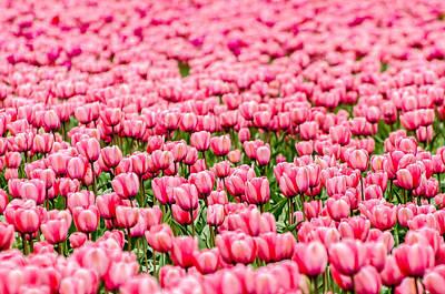 Pink Tulip Carpet  Print by Puget  Exposure