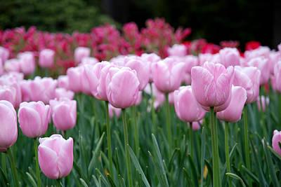 Fleur Photograph - Pink Tulip Garden by Jennifer Ancker
