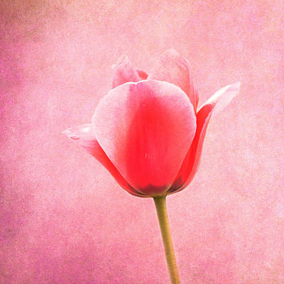 Pink Tulip Print by Art Spectrum