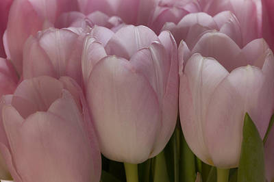 Photograph - Pink Tulips by Alex Saunders