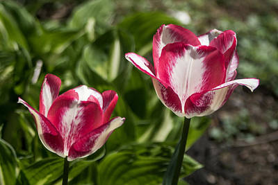Tulips Photograph - Pink Tulips Dancing by Photographic Arts And Design Studio