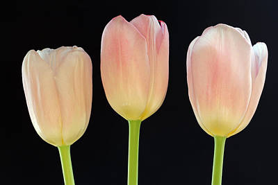 Tulpe Photograph - Pink Tulips Splendor by Juergen Roth