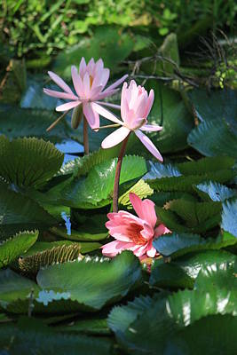 Pink Water Lillies Original by Mandy Shupp