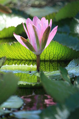 Pink Water Lilly II Original by Mandy Shupp