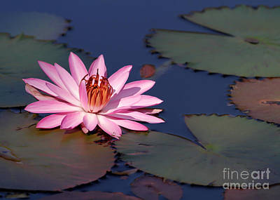 Pink Water Lily In The Spotlight Print by Sabrina L Ryan