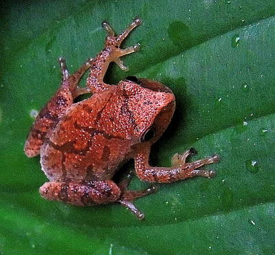 Spring Peepers Photograph - Pinkletink by Mim White