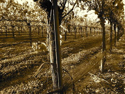 Central Coast Winery Photograph - Pinot Growth by Paul Foutz