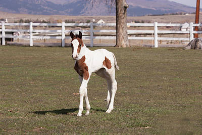 Pinto Filly In Pasture With White Fence Print by Piperanne Worcester