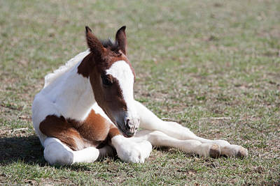 Pinto Oldenburg Warmblood Foal, Lying Print by Piperanne Worcester