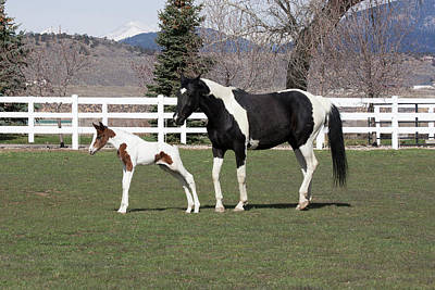Pinto Oldenburg Warmblood Mare And Foal Print by Piperanne Worcester