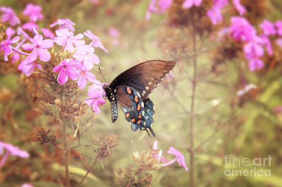 Pipevine Swallowtail Butterfly Original by Lena Auxier
