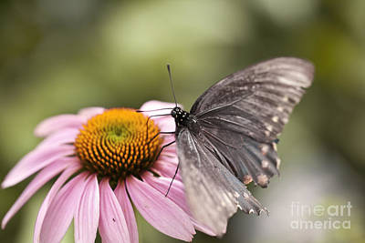 Battus Photograph - Pipevine Swallowtail Butterfly On A Coneflower by Brandon Alms