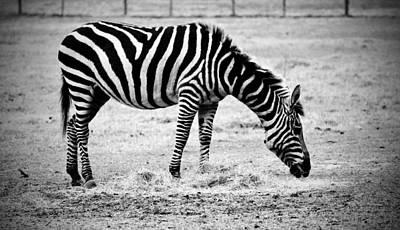 Plains Zebra Print by Cynthia Guinn