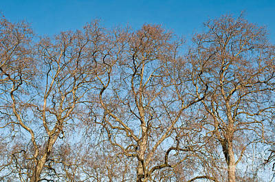 Platanus Trees Print by Luis Alvarenga
