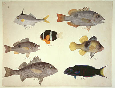 Fish Illustration Photograph - Plate 114: John Reeves Collection by Natural History Museum, London