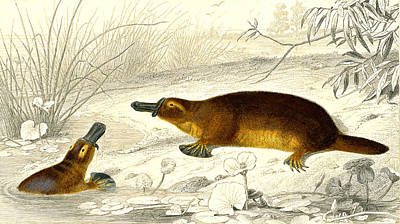 1859 Photograph - Platypus by Collection Abecasis