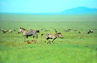 Nature Photograph - Playfull Zebras by Sebastian Musial