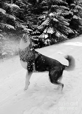 Dog In Snow Photograph - Playing In The Snow by Carol Groenen