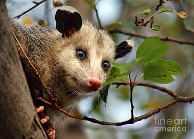 Possum Photograph - Playing Possum by Nikolyn McDonald