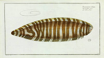 Pleuronectes Zebra (synaptura Zebra) Print by Natural History Museum, London