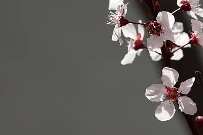 Plum Blossom Print by Peter Tellone
