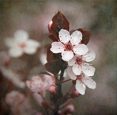 Plum Blossoms Print by Angie Vogel