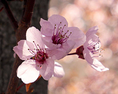 Apricot Photograph - Plum Blossoms by Rona Black