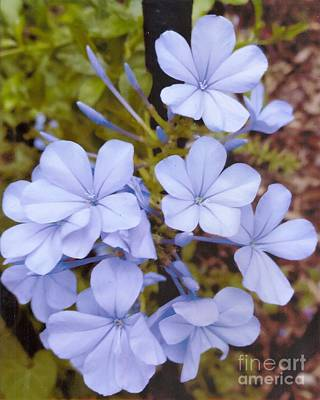 Plumbago Auriculata Or Cape Wort Print by Rod Ismay