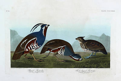 The Bird Photograph - Plumbed Partridge by British Library