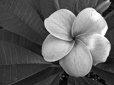 Black And White Photograph - Plumeria With Raindrops by Shane Kelly