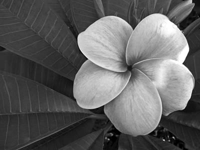 Plumeria With Raindrops Print by Shane Kelly