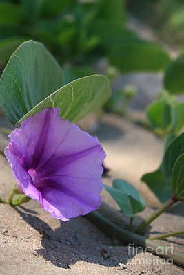 Pohuehue - Pua Nani O Kamaole Hawaii - Beach Morning Glory Print by Sharon Mau