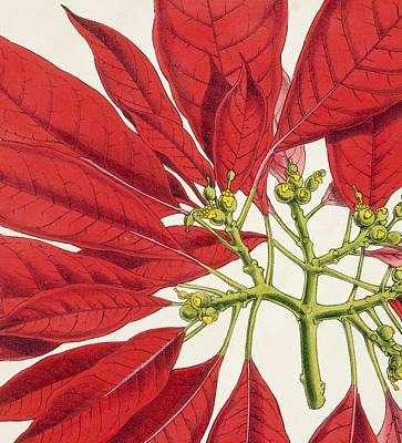 Garden Drawing - Poinsettia Pulcherrima by WG Smith