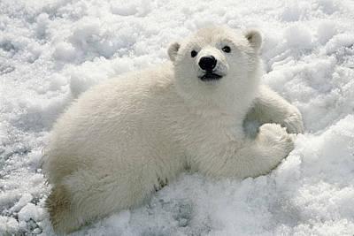 Polar Bear Cub Playing In Snow Alaska Print by Mark Newman