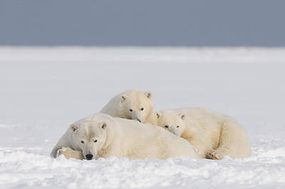 Alaska Photograph - Polar Bear Mother With Cubs Rest by Steven Kazlowski