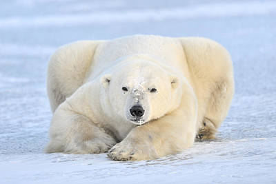 Photograph - Polar Bear On Pack Ice Churchill by Andre Gilden