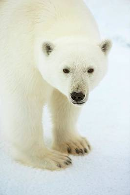 Bear Photograph - Polar Bear Standing Close Up by Peter J. Raymond