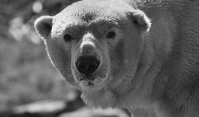 Bear Photograph - Polar Bear Stare by Dan Sproul