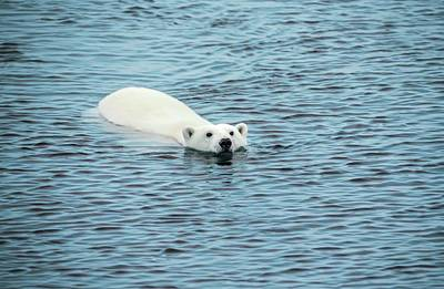 Bear Photograph - Polar Bear Swimming by Peter J. Raymond