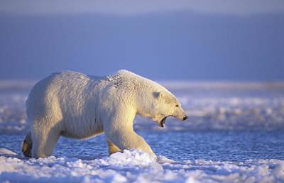 Winter Sunset Photograph - Polar Bear Walking On Pack Ice Beaufort by Steven Kazlowski